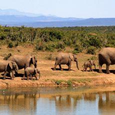 elephant-herd-of-elephants-african-bush-elephant-africa-59989