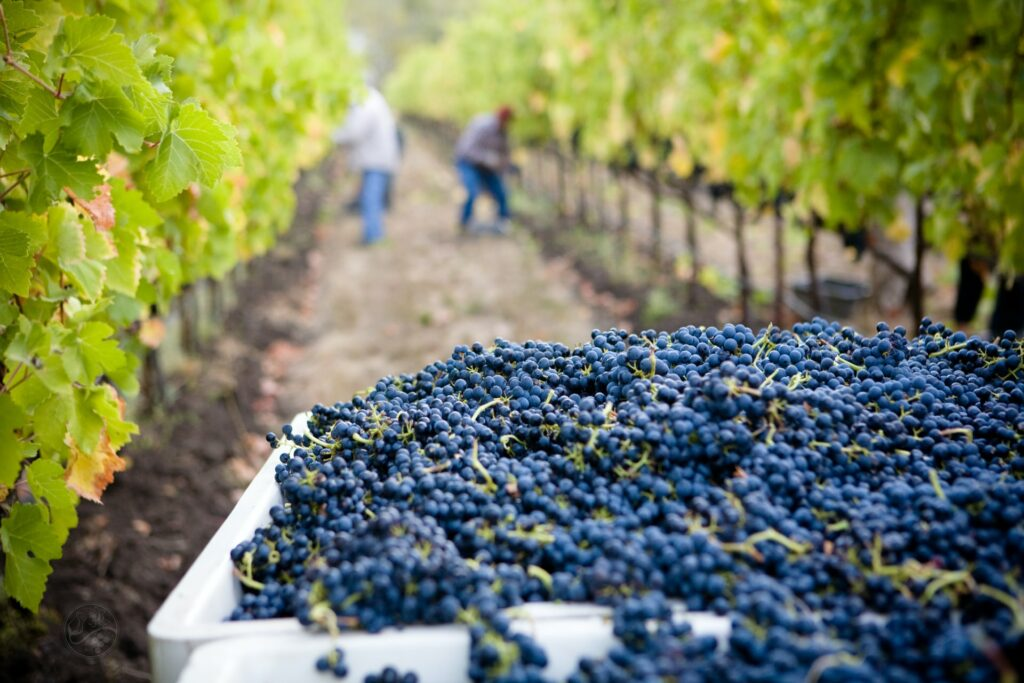 Wine in Europe